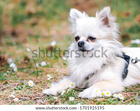 Little dog chihuahua sit on the ground in the forest with daisy flowers and in a summer day. Dog walk in the summer park. Beautiful fluffy puppy. Animal playing outdoors. Dog in the woods in nature #1701925195