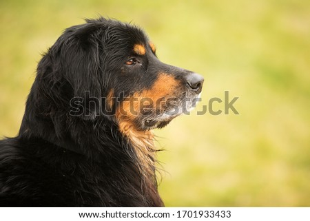 side portrait dog Hovawart with green background #1701933433