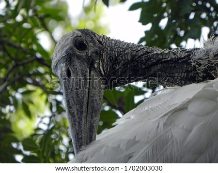 Wood stork resting in a tree          #1702003030