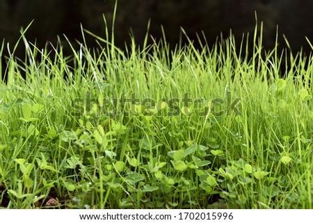 Natural fresh green grass in dark blurry background. spring and summer wallpaper. Trefoils in grass. #1702015996