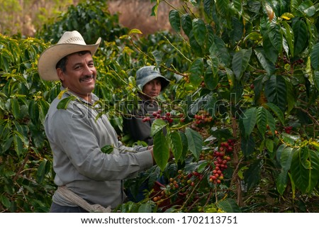 Happy farmers collecting Arabica coffee beans on the coffee tree. #1702113751