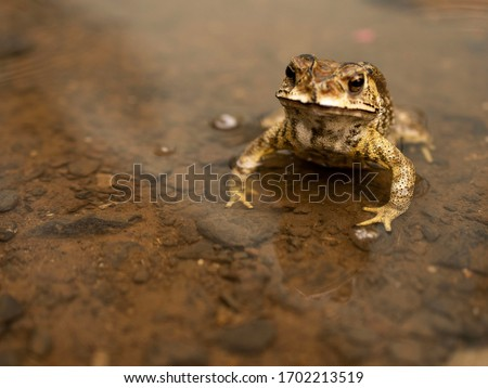Common Asian Toad or Duttaphrynus melanostictus or asian toad brown or Bufo Bufo. Closeup animal. Toad on the garden path after the rain #1702213519