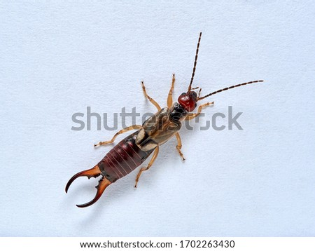 Common earwig or European earwig in a white background. Details of body. Forficula auricularia
