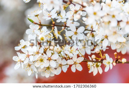 White Plum Tree Blossoms in Spring in Northern Europe