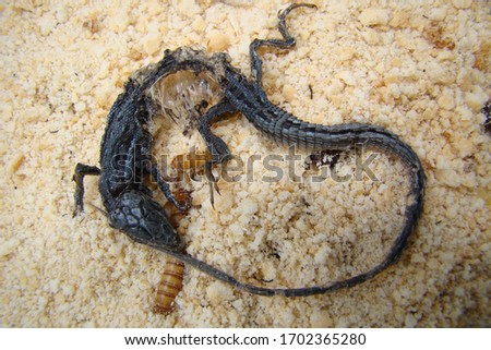 Mealworms eating lizard carcass . mealworm - superworm   larva  Stages of the meal worm  - the life cycle of a mealworm - meal worm  ,  meal worms , super worm , superworms #1702365280
