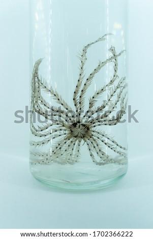the aquarium stuff of Pentagram starfish in white background ,close up picture