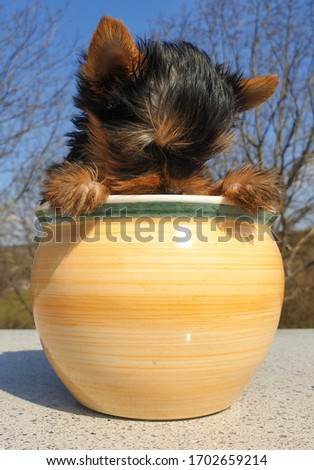 Closeup of playful baby Yorkshire terrier puppy outside sitting in a flower pot. Front portrait and detail of young and cute Yorkie pup, playing outside with blurred background.