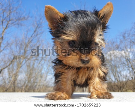 Closeup of playful baby Yorkshire terrier puppy outside. Front portrait and detail of young and cute Yorkie pup, playing outside with blurred background.