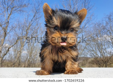 Closeup of playful baby Yorkshire terrier puppy outside. Front portrait and detail of young and cute Yorkie pup, playing outside with blurred background. Tongue sticking out