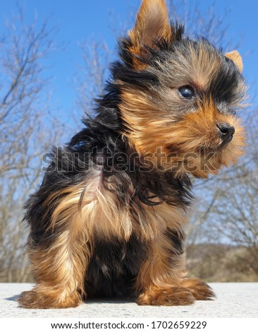 Closeup of playful baby Yorkshire terrier puppy outside. Front portrait and detail of young and cute Yorkie pup, playing outside with blurred background. Curious, looking sideways left and right