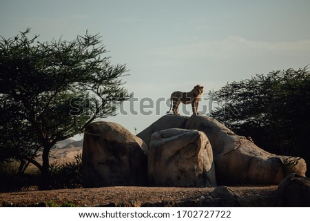 Proud Lion. Beautiful lion standing on a ston. Single lion looking regal standing proudly on a small hill. The king of beasts, a lion stands on a dais and looks into the distance at his domain. #1702727722