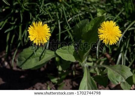 Yellow dandelions. Bright flowers dandelions on background of green spring meadows. Dandelion