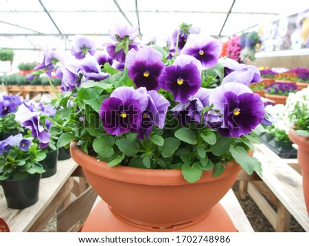 Purple Flower Pansies closeup of colorful pansy flower with yellow center, flower pot plant.