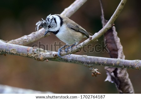 The European Crested Tit,or simply Crested Tit,Lophophanes cristatus (formerly Parus cristatus),is a passerine bird in the tit family Paridae.  #1702764187