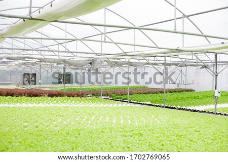 Hydroponics of lettuce farm growing in greenhouse for export to the market. Interior of the farm hydroponics. Vegetables farm in hydroponics. Organic vegetables. Farm organic. #1702769065