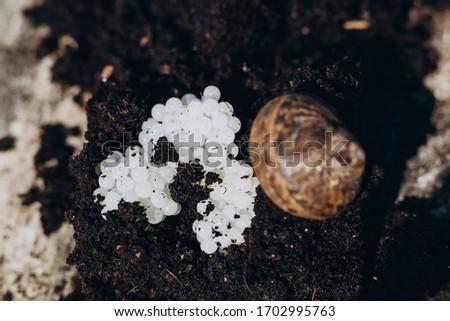 fresh snail caviar in black soil #1702995763