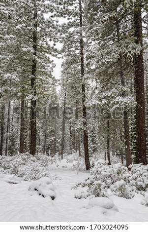 Pine trees under a lot of snow, during a snow storm  #1703024095