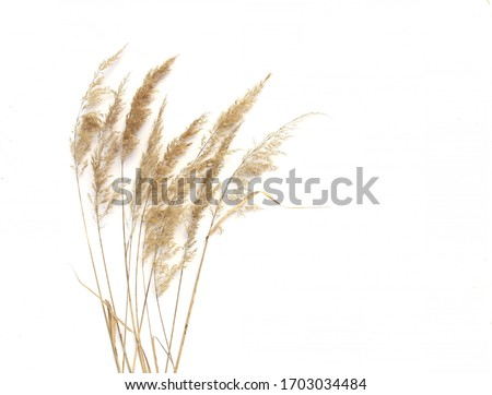 Dry reeds isolated on white background. Abstract dry  grass flowers, herbs.  #1703034484