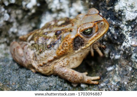 Close up of toad on cement floor. Brazilian toad.