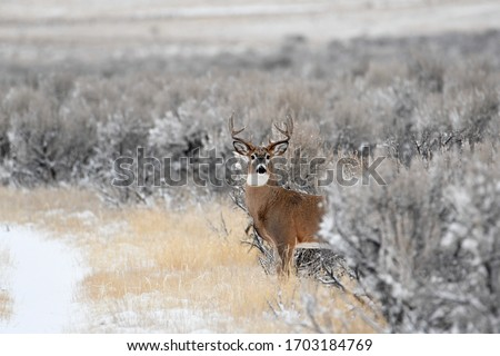 Whitetail buck deer stepping out of the sage brush onto a trail Royalty-Free Stock Photo #1703184769