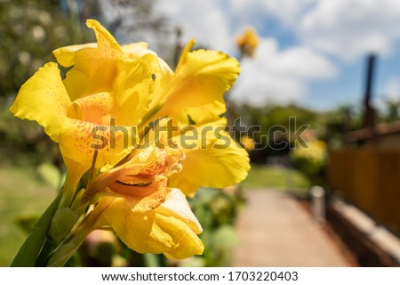 Beautiful Background Picture of Yellow Canna Lily flower with orange spots taken in Fernando de Noronha, Pernambuco, Brazil