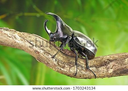Beetles : Siamese rhinoceros beetle or fighting beetle. Selective focus,blurred background. #1703243134