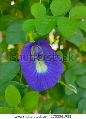 Picture of butterfly pea flower (Clitoria ternatea) in the morning with green and fresh leaves as the background. This flower can be brewed as butterfly pea tea which is good for our health