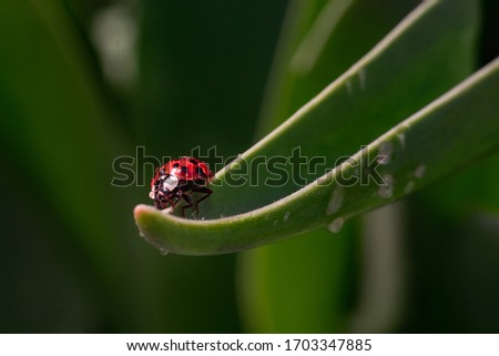 Red ladybug on a green blade of grass plant. Little ladybirds are covered with dew drops. Summer morning. Cute and beautiful macro for wallpaper or photo picture with copy space.