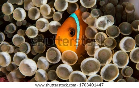 Really cute image of the rare species of Clown Fish called the Tomato Anemone Fish.Only found living in a particular anemone this was taken in the Surin Marine park in Thailand. Royalty-Free Stock Photo #1703401447