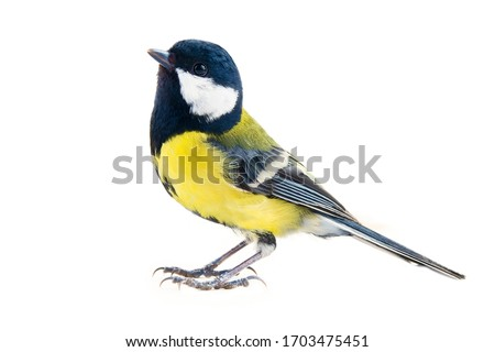 titmouse bird on a white background, great tit, Parus major, oxeye close up, spring. Symbol of the positivity and joy #1703475451