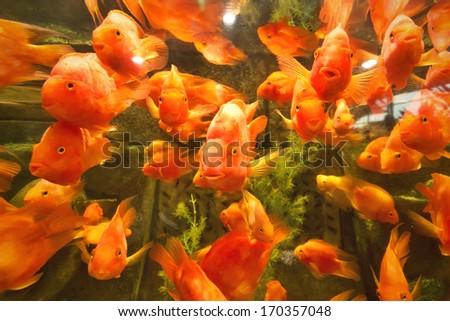 big red fish swimming underwater  #170357048