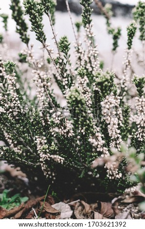 Heather flowers are blooming. Gardening floral background. Common heather, ling, or simply heather. Flowering plant in the heather family.   #1703621392