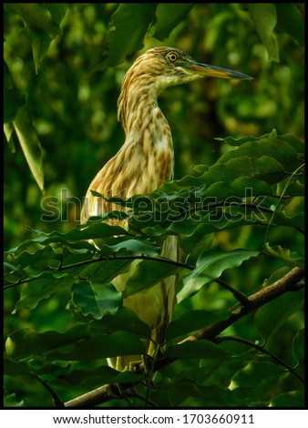 The Indian pond heron or paddybird (Ardeola grayii) is a small heron.Pond herons (Ardeola) are herons, typically 40–50 cm (16–20 in) long with an 80–100 cm (31–39 in) wingspan. #1703660911