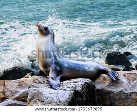 Seal. sea lion posing on a rock in the reefs