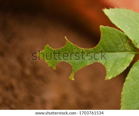 Leaf Of A Plant Eaten By Insects.Closeup Picture