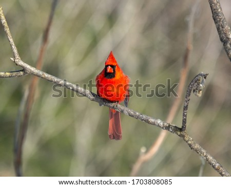 This is a picture of a male Cardinal perched in a tree branch.