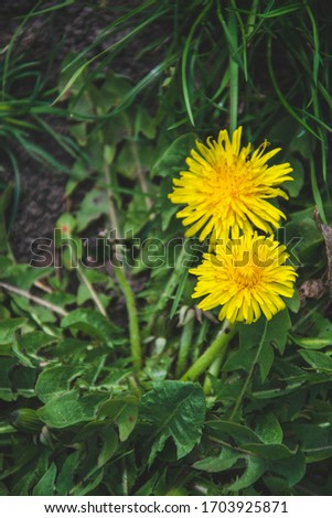 Close up picture of dandelion flowers in the garden. Green background from  grass. Wallpaper for phone. Nature view of spring season.