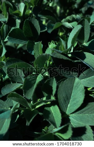 succulent bright green leaves, leaf close-up, texture leaves, background of green leaves #1704018730