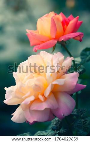 Beautiful rose flower in garden. Rose flower background. Roses flower texture. Lovely rose. Roses in tropical garden. Colourful roses flower Royalty-Free Stock Photo #1704029659