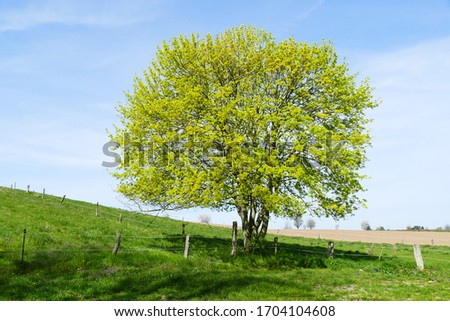 Single Acer campestre, known as the field maple, on a meadow near Elze, district Hanover, Lower Saxony, Germany. Flowering tree in spring time of soapberry and lychee family Sapindaceae. #1704104608