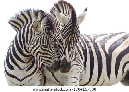Lovable Zebras In South Africa Royalty-Free Stock Photo #1704117988