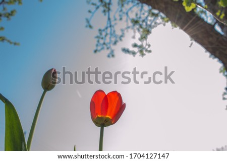 Red blooming tulip and closed tulip  on blue sky background. Growing in the garden, the tall variety. Blue sky background. Tulip flowers open to the sun. Tulips against blue sky.