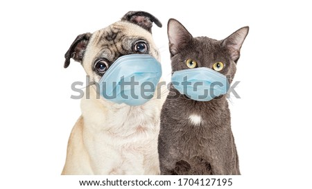 Cute Pug purebred dog and grey cat wearing protective surgical face masks  looking forward at camera isolated on white background #1704127195