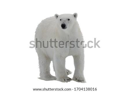 Polar bear isolated on white background   Royalty-Free Stock Photo #1704138016
