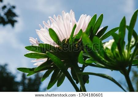 European chamomile Michaelmas (Aster amellus). Aster. Bright blue flower aster closeup. Nature. Bouquet of Flowering Callistephus chinensis. Lush fresh blue aster flowers grow in a flower garden. #1704180601