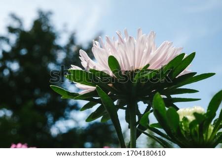 European chamomile Michaelmas (Aster amellus). Aster. Bright blue flower aster closeup. Nature. Bouquet of Flowering Callistephus chinensis. Lush fresh blue aster flowers grow in a flower garden. #1704180610