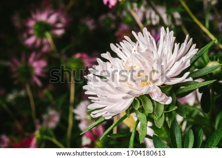 European chamomile Michaelmas (Aster amellus). Aster. Bright blue flower aster closeup. Nature. Bouquet of Flowering Callistephus chinensis. Lush fresh blue aster flowers grow in a flower garden. #1704180613