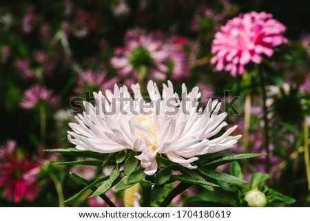 European chamomile Michaelmas (Aster amellus). Aster. Bright blue flower aster closeup. Nature. Bouquet of Flowering Callistephus chinensis. Lush fresh blue aster flowers grow in a flower garden. #1704180619