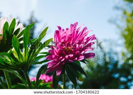 European chamomile Michaelmas (Aster amellus). Aster. Bright blue flower aster closeup. Nature. Bouquet of Flowering Callistephus chinensis. Lush fresh blue aster flowers grow in a flower garden. #1704180622