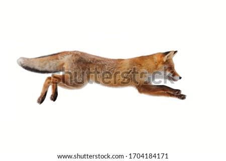 Red fox (Vulpes vulpes) making long jump isolated on white background. Flying fox. Orange fur coat animal hunting. Fox in winter fur. Wildlife scene from Europe. Habitat Europe, Asia, North America.